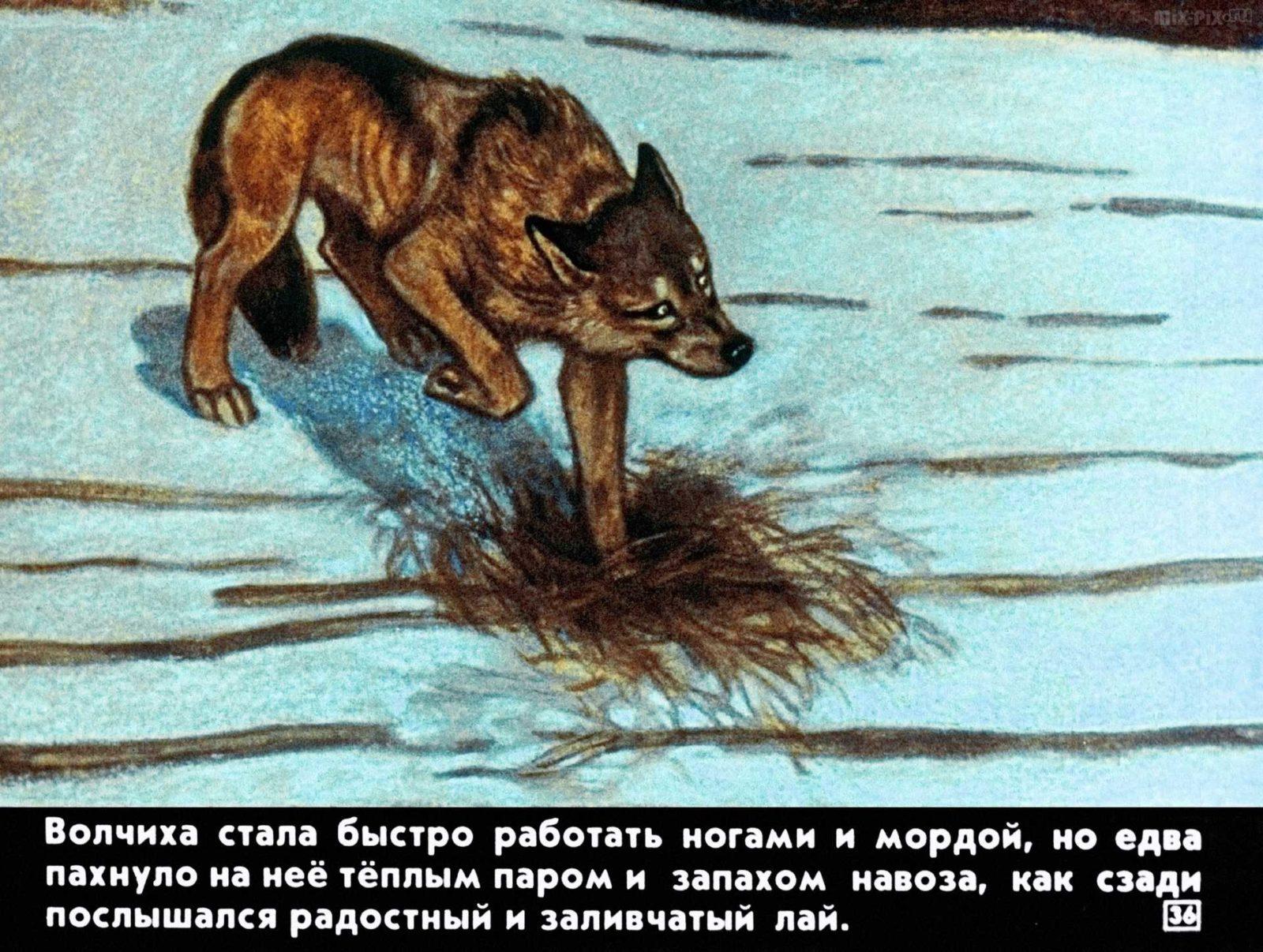 Белолобый (1988) 31