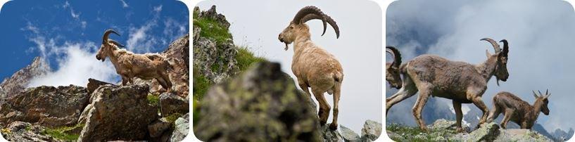 Кавказский тур горные козлы
